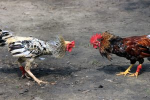 Two chickens preparing to fight