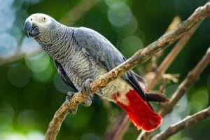 An African Grey Perched On A Tree Branch