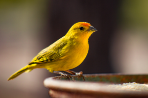 A Canary Bird Sitting On A Container Of Feed