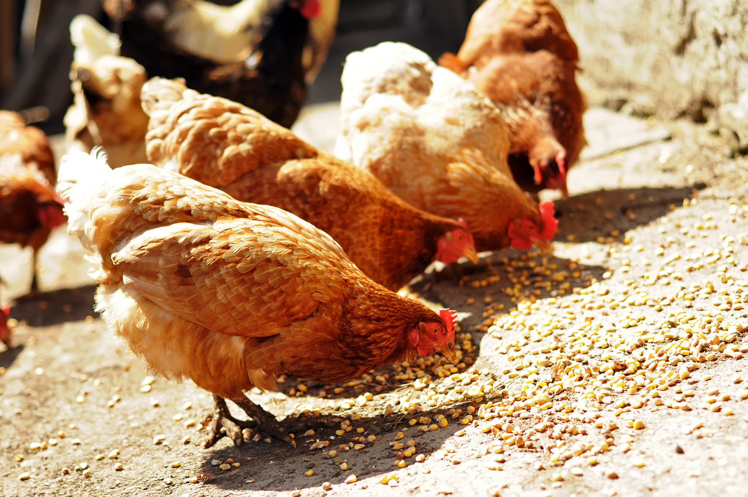 Four chickens eating food