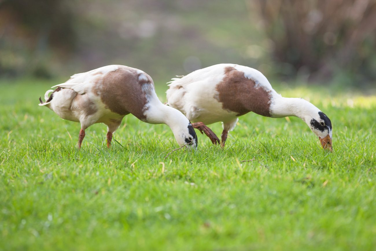Ducks Eating Grass