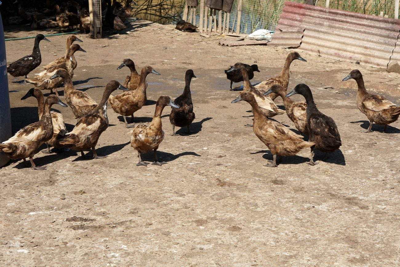 Group of Ducks Walking Together