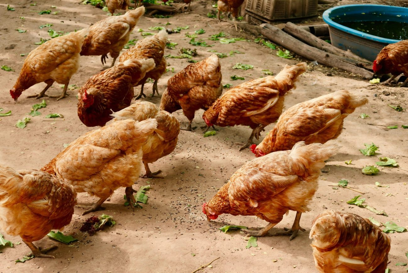 flock of chickens eating