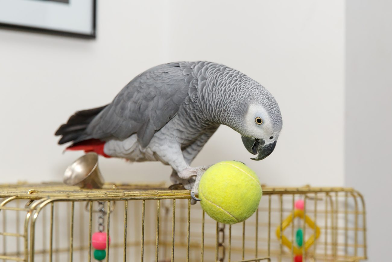 Gray parrot on top of a bird cage playing with a tennis ball