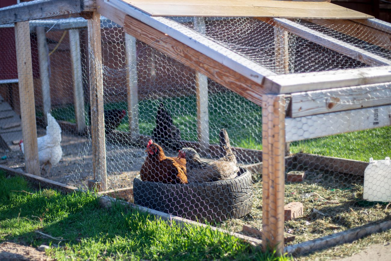 two chickens sitting inside of a big tire located inside a netted chicken coop