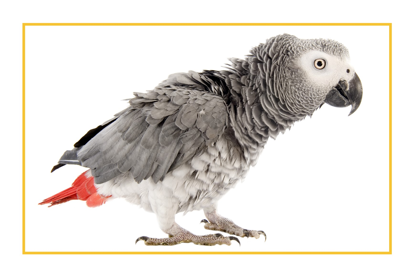 African Grey Parrot with feathers raised