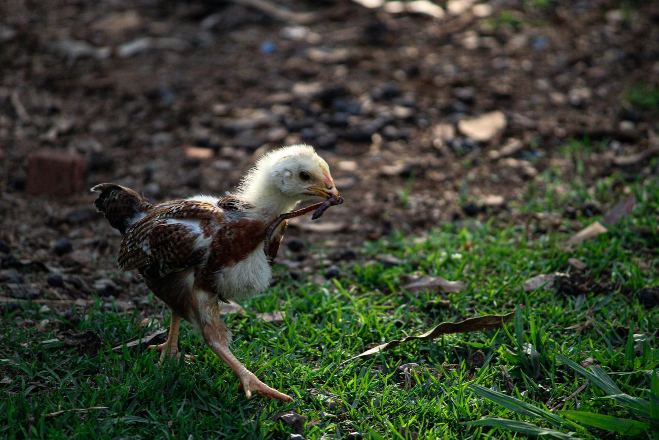 Brown and yellow-headed baby chick walking while holding a worm in its mouth