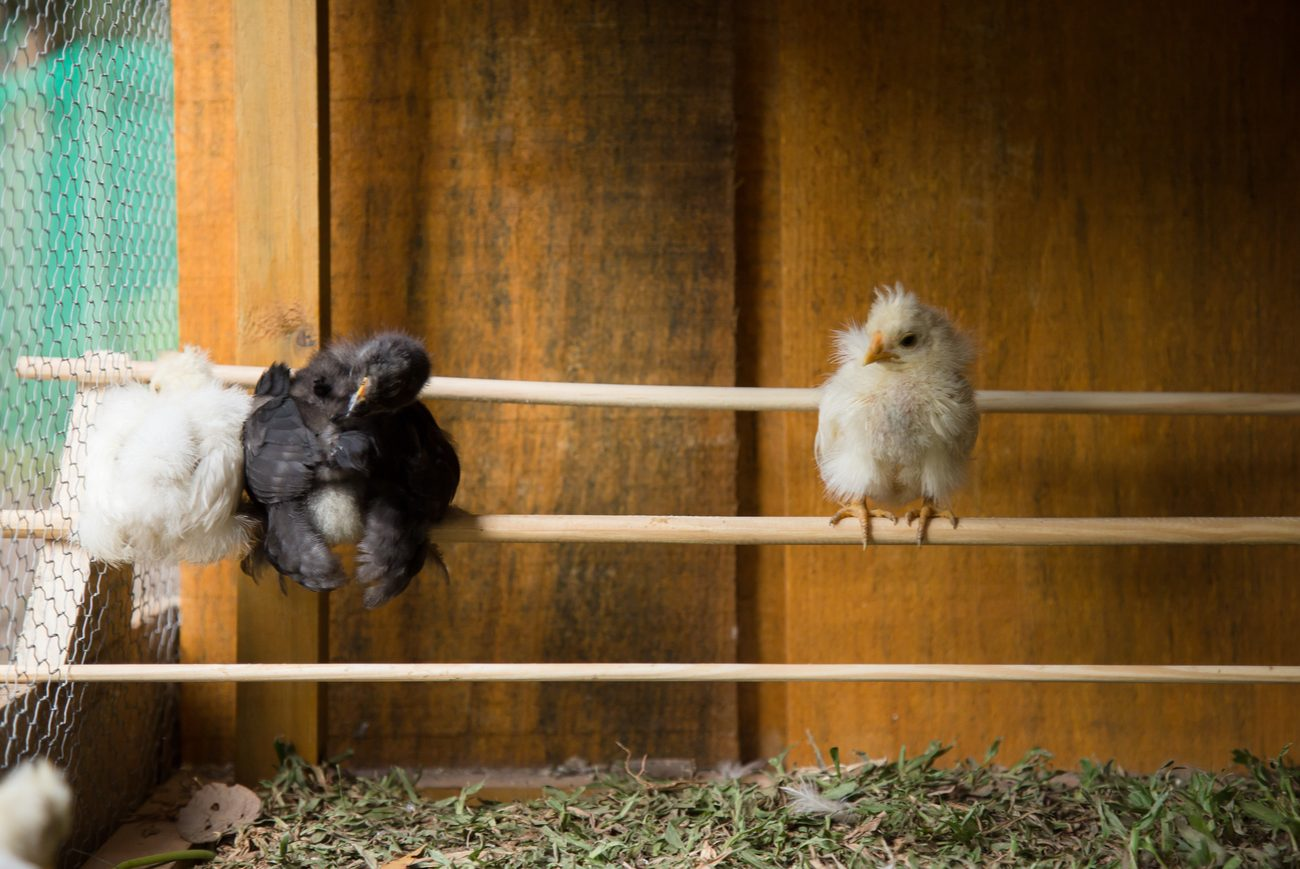 3 baby chicks sitting on top of a stick in a chicken coop