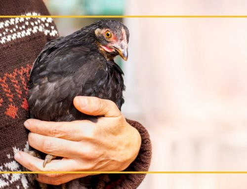 Poultry Diseases in SoCal
