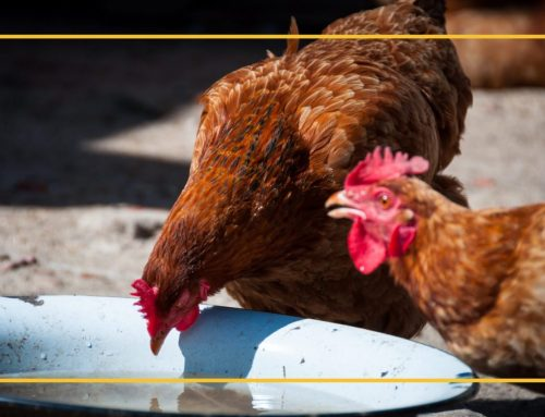 Signs and Symptoms of Heat Stress in Chickens