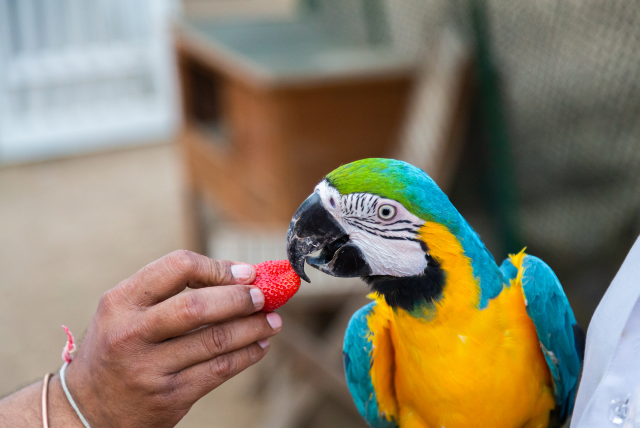 Man's hand feeding Macaw Parrot a strawberry