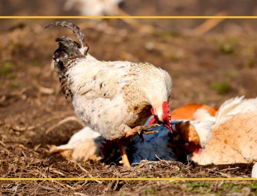 Common Parasites in Chickens