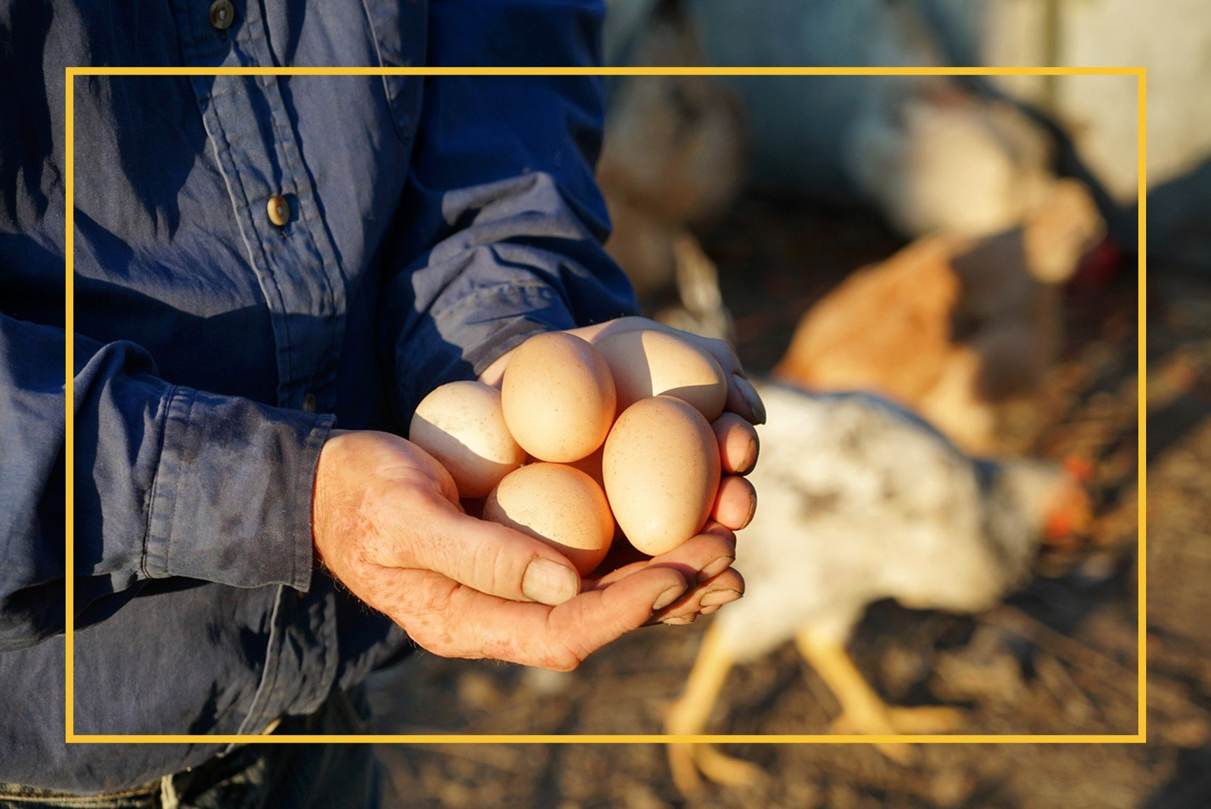 Close up of man's hands holding eggs with chicken in background