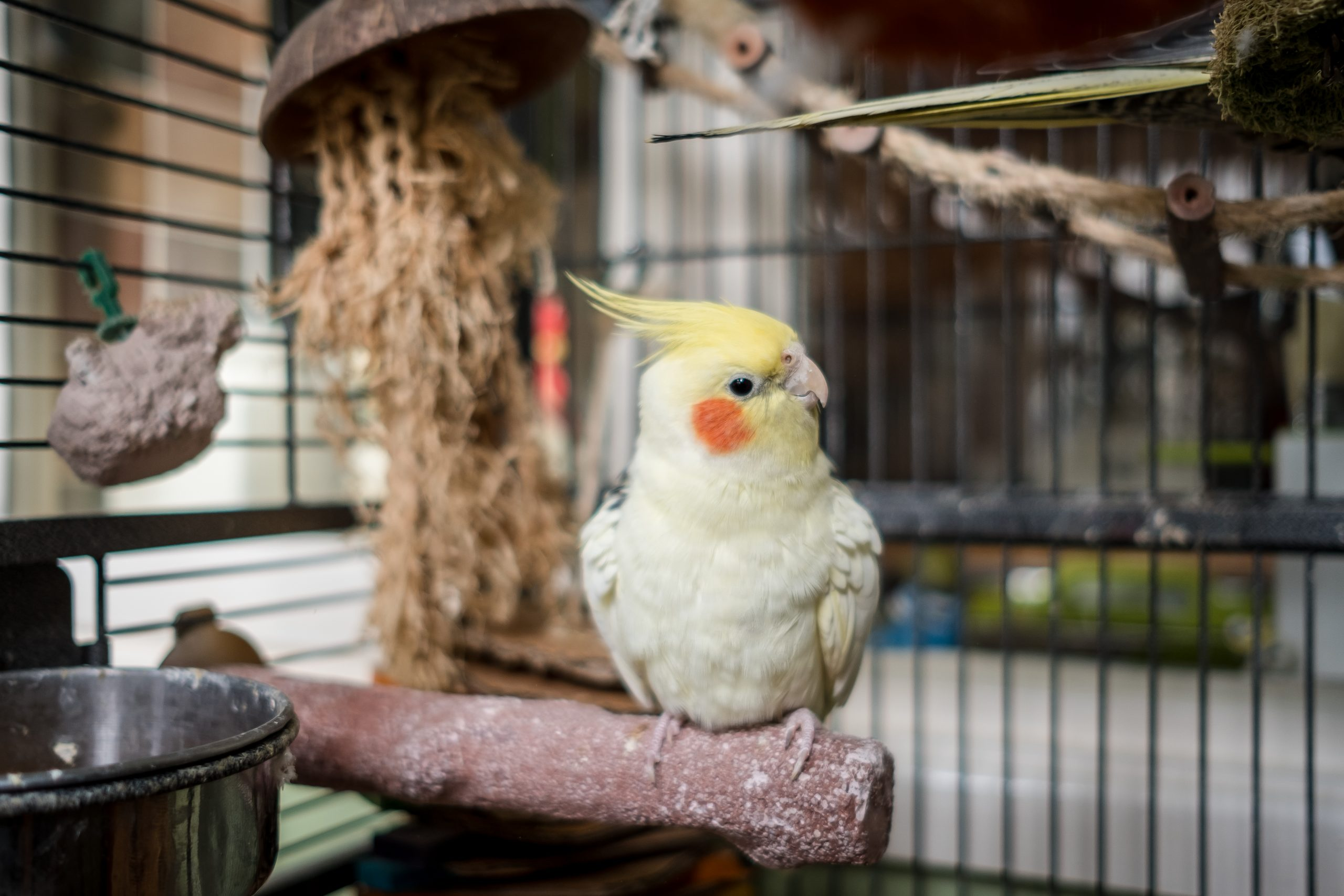 Adult male cockatiel seen perched within his opened bird cage, located in a conservatory. The top of the image shows the tail of his breeding mate together with various toys in the bird cage.