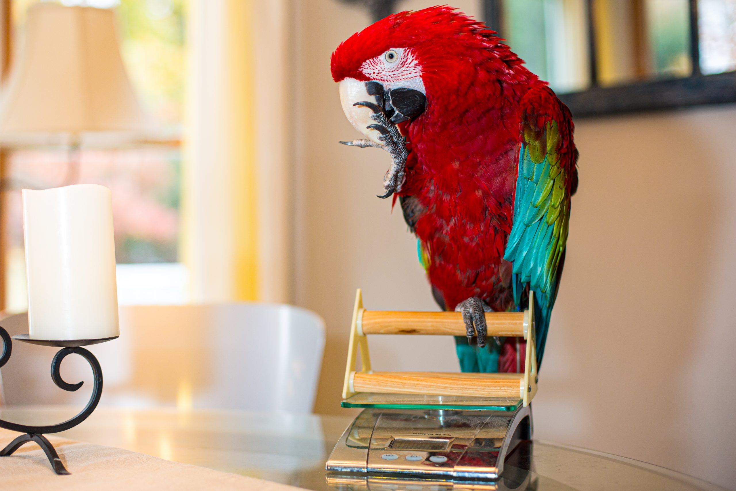 Pet green-winged macaw parrot getting her weight checked on gram scale on table