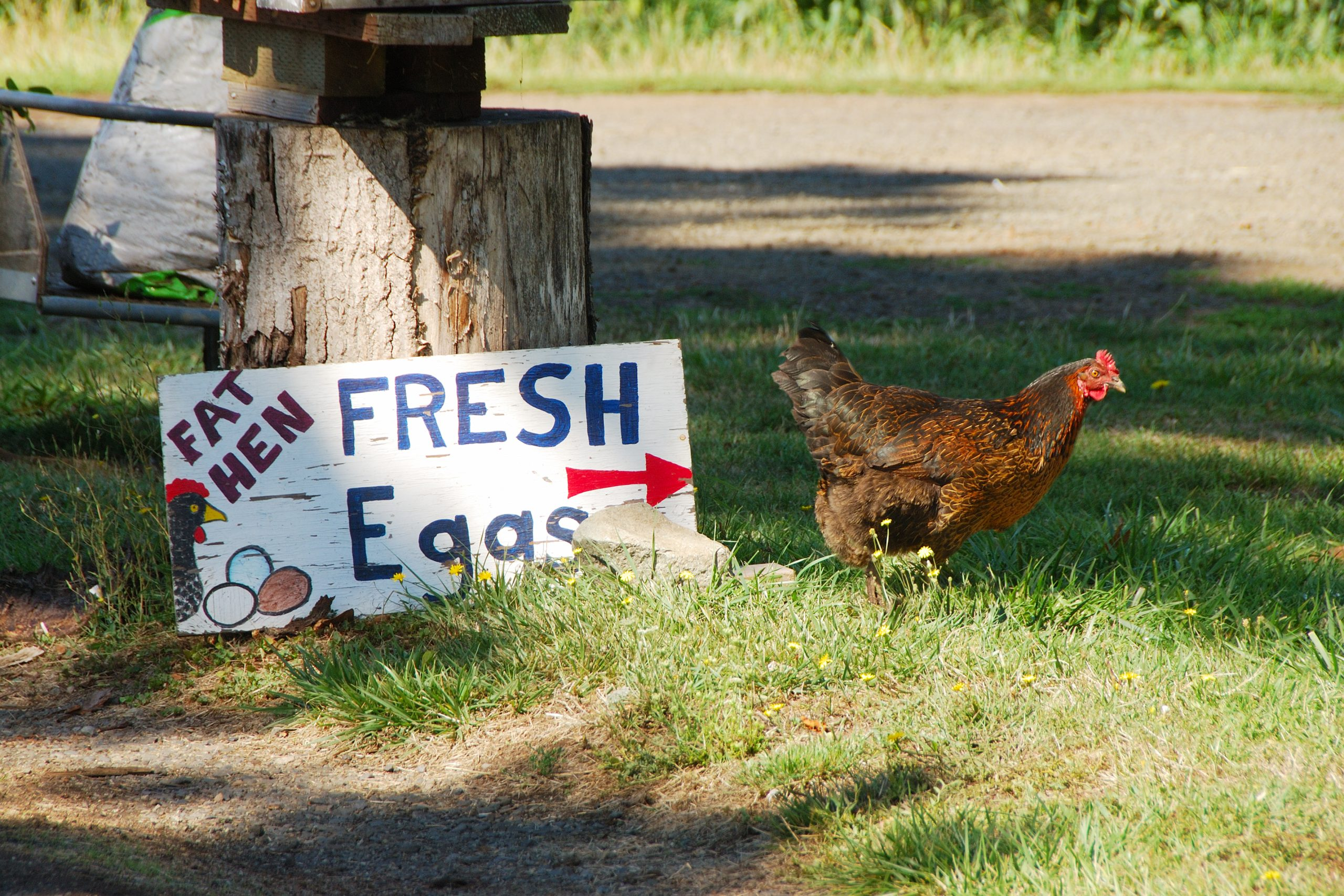 Fresh eggs for sale sign with chicken standing next to it