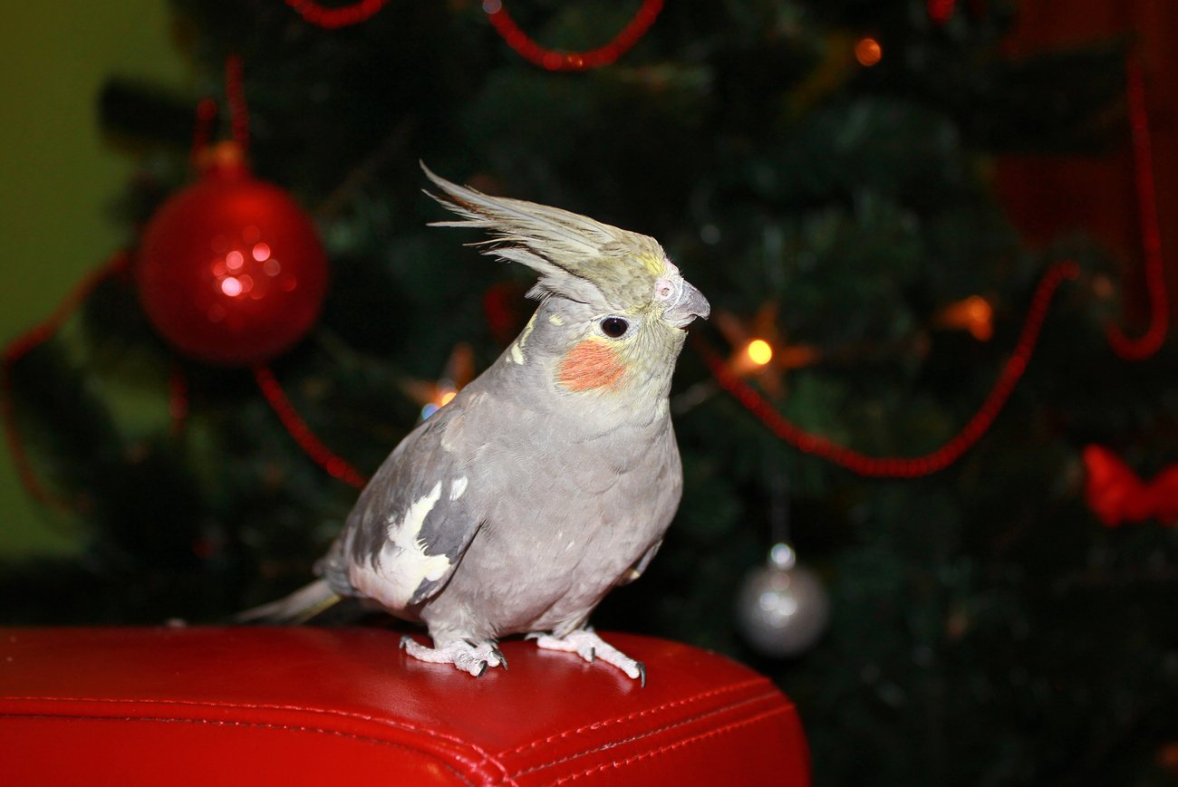Bird in front of Christmas Tree