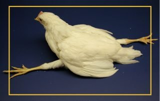 Pullet sitting with splayed legs as a result of paralysis, a common symptom of Marek's Disease